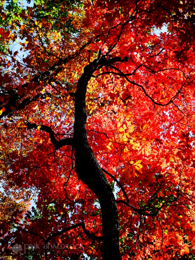 Vibrant red autumn foliage