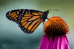 Monarch and Coneflower