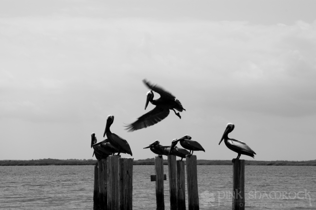 """Coming in for a Landing"" - Brown Pelicans in Edisto, SC"