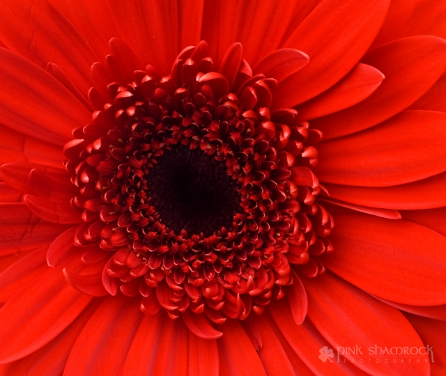 red gerbera daisy face