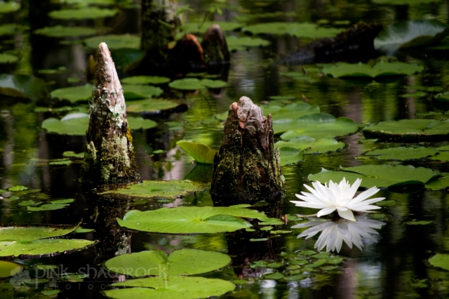 Water lily at Cypress Gardens, SC