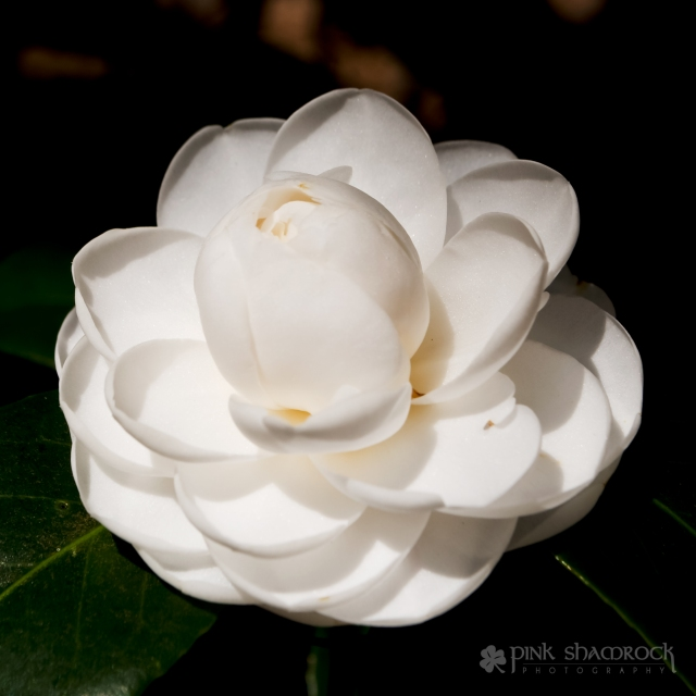 white morning glow camellia flower
