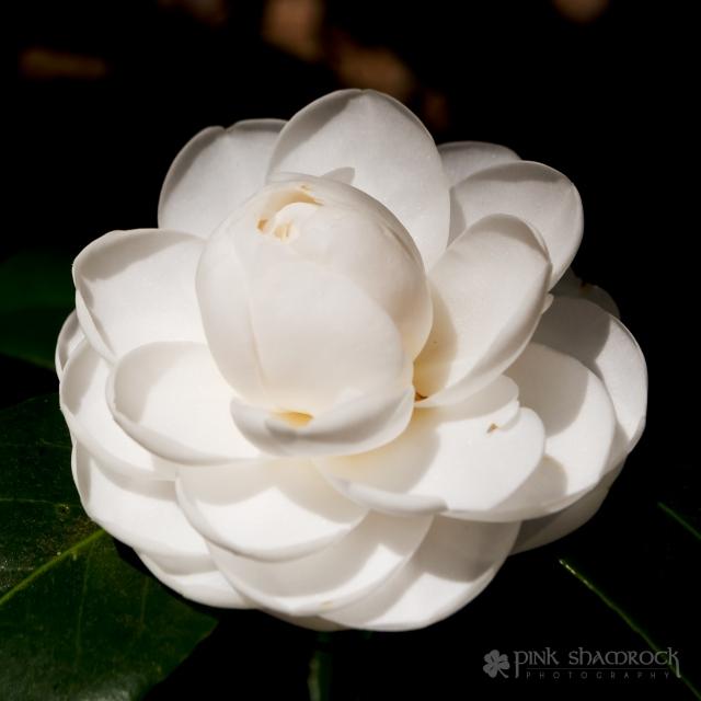 white morning glow camellia flower