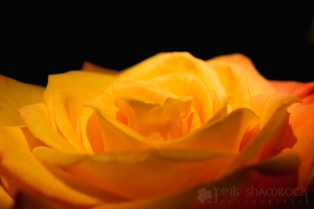 yellow rose in sunlight