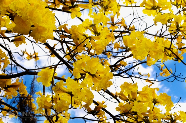 yellow trumpet flowering tree