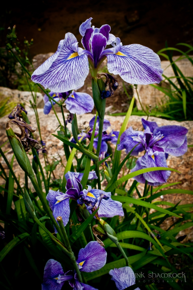 The iris, a symbol of the Virgin Mary, blooms at Falls Park in Greenville, SC.