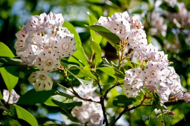 A Mountain Laurel blooms in Caesars Head State Park, SC.