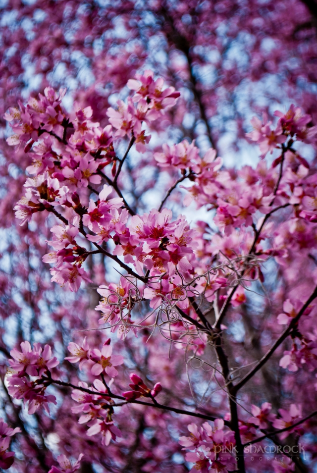 A flowering plum tree at Magnolia Plantation in Charleston, SC.