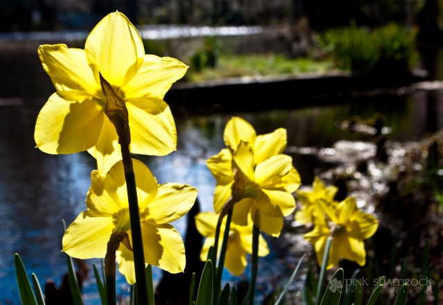 The sun shines brightly on a patch of daffodils at Magnolia Plantation in Charleston, SC.