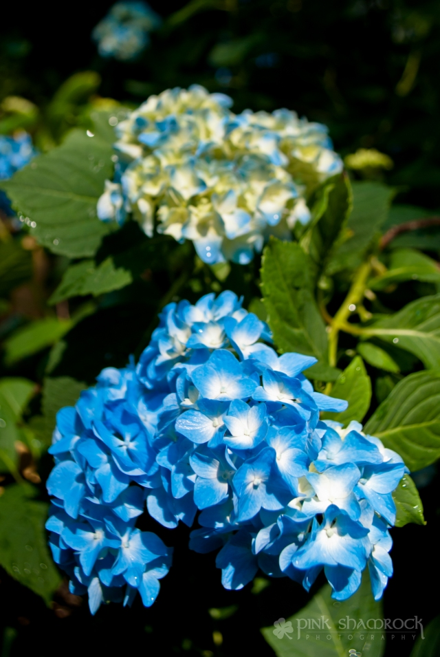 Blue hydrangea blossoms in Charleston, SC.