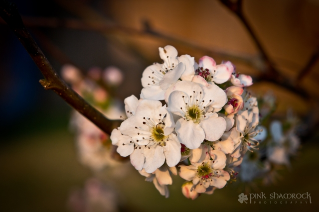 Cleveland Pear blossoms at sunset.