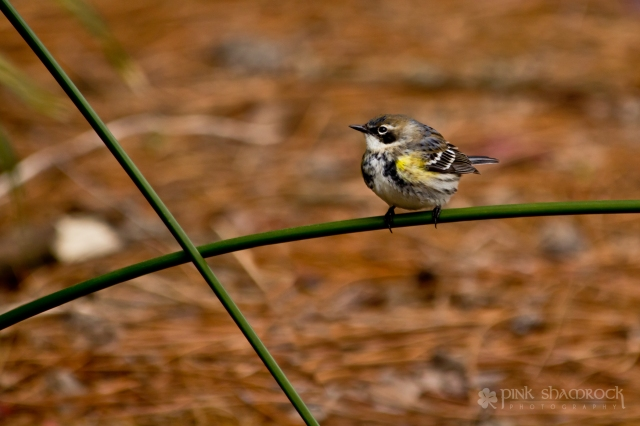 A Yellow-Rumped Warbler perched upon Umbrella Grass.