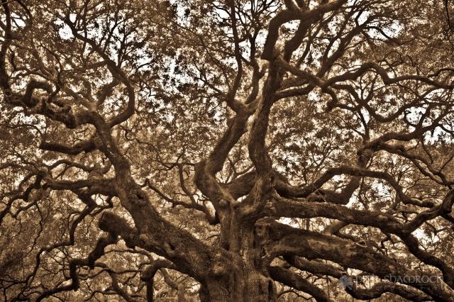 The Angel Oak Tree in Charleston, SC.