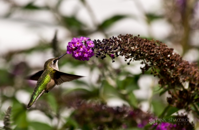 A hummingbird visits a butterfly bush in upstate NY.