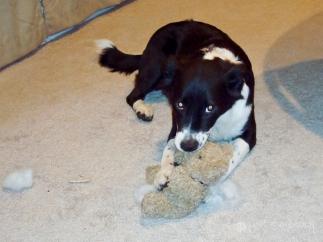 """""""Lily Bear"""" - Our Border Collie-Terrier mix destroys a teddy bear."""