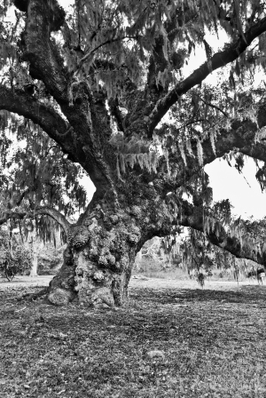 A Live Oak, believed to be over 600 years-old stands on McLeod Plantation in Charleston, SC.