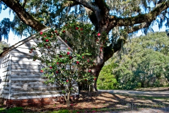 A Camellia blooms at McLeod Plantation on James Island, SC.