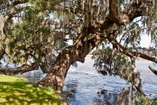 Live Oak at Magnolia Plantation in Charleston, SC.