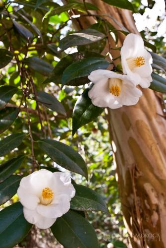 Camellias at Magnolia Plantation in Charleston, SC.