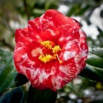 """Mottled Camellia"" - Magnolia Plantation in Charleston, SC."