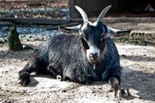 Goat at Magnolia Plantation in Charleston, SC.