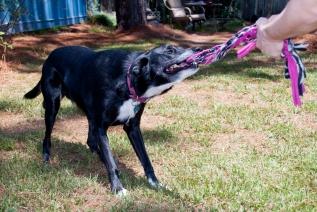 """Maya Tug"" - Maya plays with a TUGS of Fun handmade dog toy."