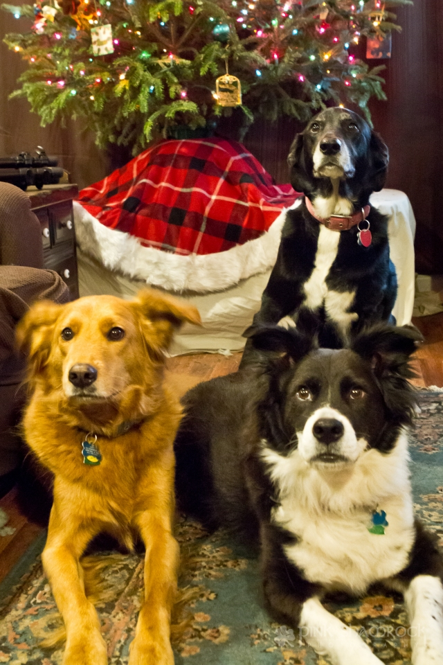 """""""Waiting for Santa"""" - Lucky, Maya and Lily wait for a treat from Santa on Christmas Eve."""