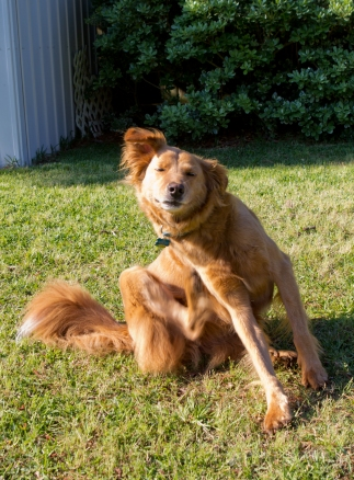 Our Golden Retriever-Collie mix scratches an itch in our backyard.