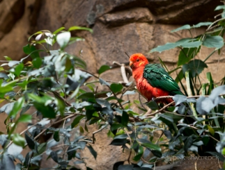 """Australian King Parrot"" - National Aquarium in Baltimore, Maryland."