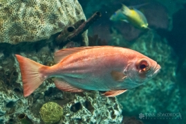 Big Eyed Snapper fish at the National Aquarium in Baltimore, Maryland.