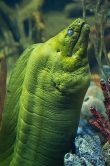 A Moray Eel at the National Aquarium in Baltimore, Maryland.