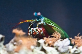 """Mantis Shrimp"" - At the National Aquarium in Baltimore, Maryland."