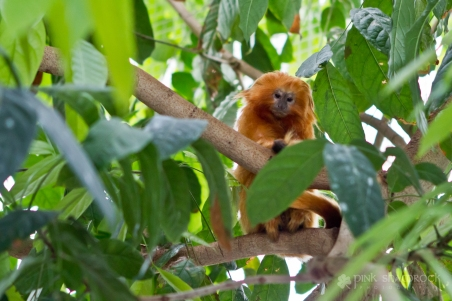 Golden Lion Tamarin monkey at the National Aquarium in Baltimore, Maryland.